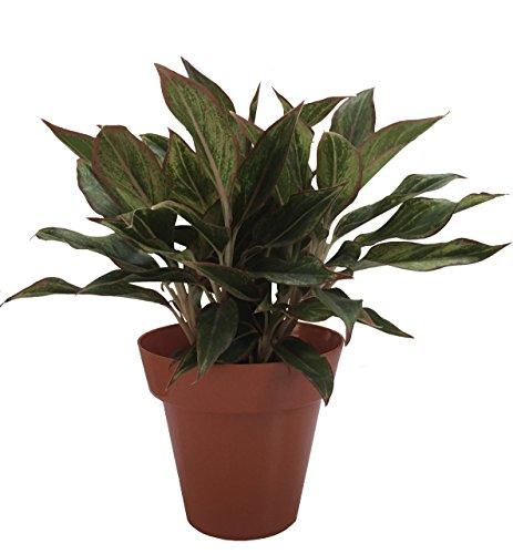 INDOOR PLANT AGLAONEMA LIPSTICK