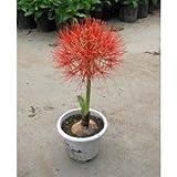 10pcs Mix-color 'Bougainvillea spectabilis Willd