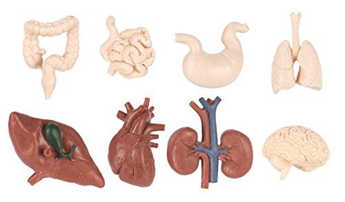 Toob Bulk Taschen–Menschlichen Organen 48Teile