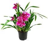 1 blühfähige Orchidee der Sorte: Miltonia Honululu Warners Best, 13cm Topf