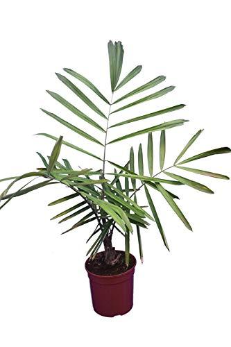 Zwerg Zuckerpalme - Arenga tremula - Zimmerpflanze mit karibischen Flair - 70-90cm Topf Ø 22cm