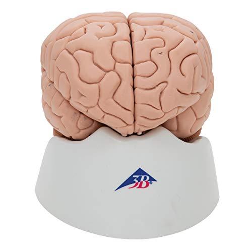 3B Scientific menschliche Anatomie - Gehirnmodell, 8-Teilig - 3B Smart Anatomy -