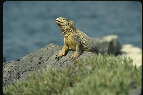 139070 Land Iguana Plaza Island A4 Photo Poster Print 10x8