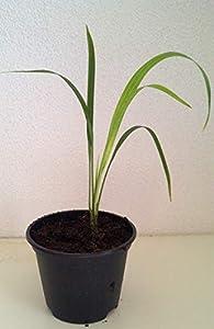 Zwergdattelpalme Phoenix roebelenii Pflanze 20cm Dattelpalme Palme Datteln von Green Future Pflanzenhandel auf Du und dein Garten