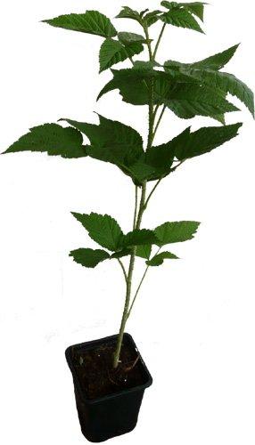 Himbeere Schönemann Pflanze aromatische Früchte alte Sorte