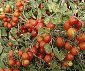 Bobby-Seeds Tomatensamen Bajaja Portion