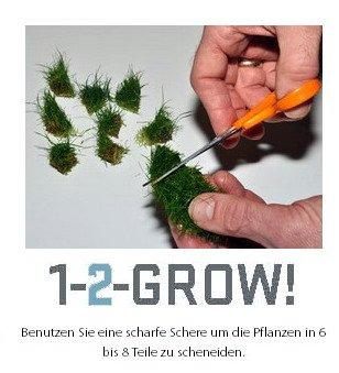 1-2-GROW! Kleines flutendes Pfeilkraut / Sagittaria subulata (sabulata) -