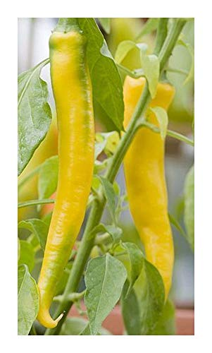 Chili Golden Cayenne - piment - 20 graines