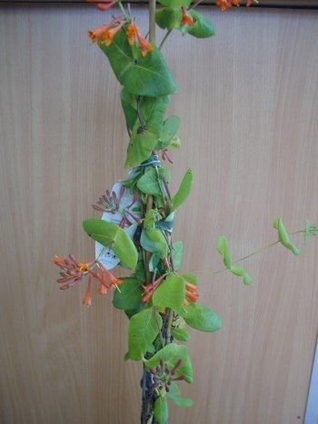 Geißblatt Dropmore Scarlet, Lonicera x brownii Dropmore Scarlet 80 cm hoch im 3 Liter Pflanzcontainer