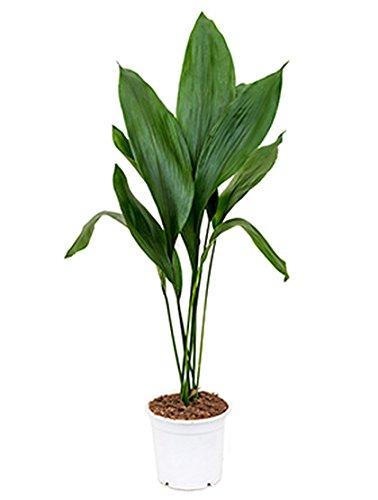 Schusterpalme robuste Zimmerpflanze für die Fensterbank Aspidistra elatior 1 Pflanze 70-85 cm im 17 cm Topf von Redwood