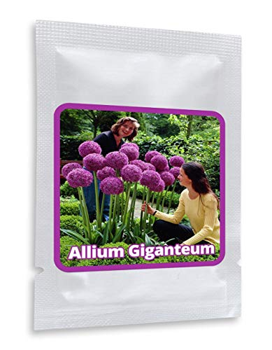 RIESEN ZIERLAUCH (Allium giganteum) - 30 Samen/Pack - winterharte Zierpflanze für den Garten - mehrjährig