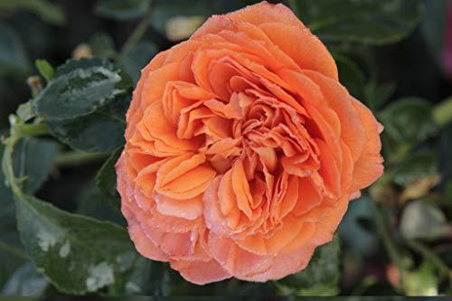 Kordes Wetterfeste, farbintensive Blüten in Orange