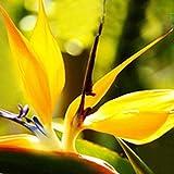 Keptei Samenhaus- 20 Korn Südafrika Strelitzie Blumensamen (Strelitzia Reginae) bunte Paradiesvogelblume Zimmerpflanze Orchidee Saatgut