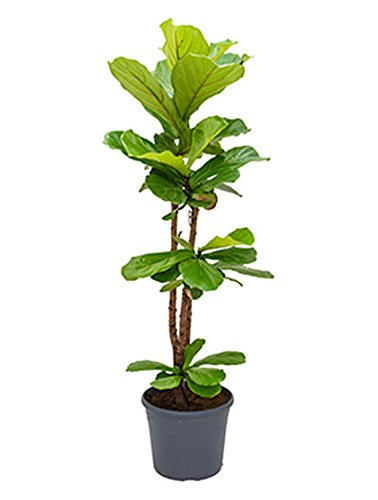 Geigenfeige große Zimmerpflanze für Hell-Halbschatten Ficus lyrata 1 Pflanze 110-140 cm im 35 cm Topf