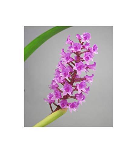 1x Arpophyllum spicatum- Orchidee kleine Blüten pink lila blühstark OW6