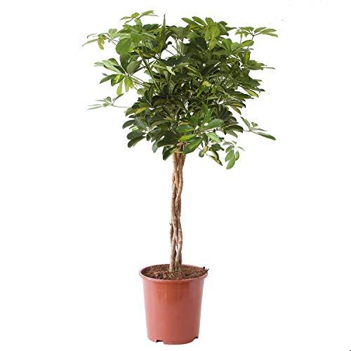 FloraAtHome - Grünpflanze - Schefflera arboricola Gold Capella - Kleine Strahlenaralie - 100cm hoch