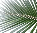 Nikau palm- Rhopalostylis sapida- Gesamthöhe: 25-35cm, topf: 15 cm.