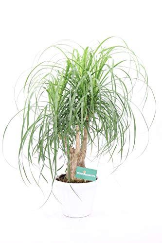 pianta di beaucarnea recurvata (pianta mangiafumo) da interno o esterno v30