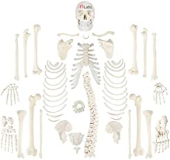 Mlabs Full Disarticulated Skeleton, Human Anatomical, Life-Size, 170cm (PVC Model)