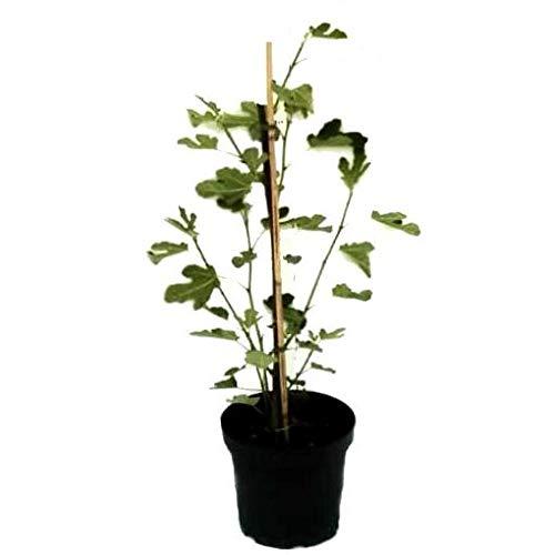 Müllers Grüner Garten Shop Bornholmfeige Bornholm Diamant sehr winterharter Feigenbaum Ficus carica 3 L Topf ca. 40-60 cm