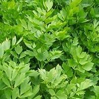 seekay Apio de Monte - Levisticum Officinalis 450 Semillas