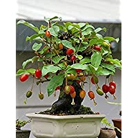PlenTree 10 PC/bolso Semillas de cornalina cereza, Cornus (Dogwood), un Semillas de frutas para Europa, dulce Bonsai Planta de tiesto para jardín