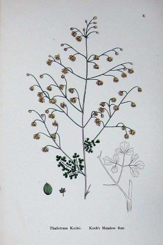 Botanik Pflanzt Thalictrum Kochii Wiesenraute C1902 Koch