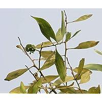 Asklepios-seeds - 50 Samen Acacia mangium, Moaholz, Australisches Teakholz, Edelteck, Talgholz Saatgut