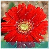 ZLKING 100 pc / pacchetto semi variopinti Gerbera Alto fiore di germinazione dei semi rapido tasso di crescita del crisantemo Per la casa Giardino Bonsai 2
