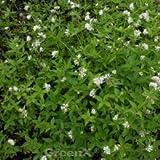 Turiner Waldmeister - Asperula taurina