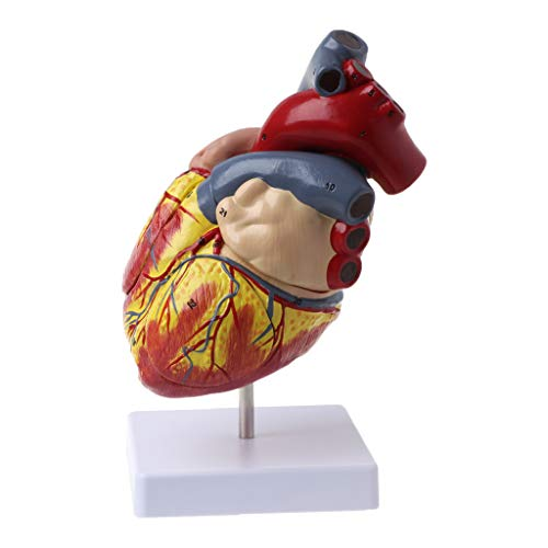 Meatyhjk anatómico anatómico de corazón humano modelo anatomía médica Viscera Organs Médico Enseñanza Herramienta de recursos