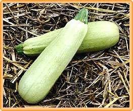 Bobby-Seeds Zucchinisamen Lungo Bianco 50 Korn