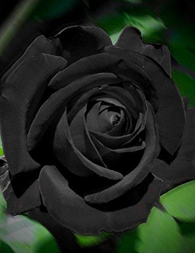 Keland 40 Edelrose Rosensamen Blütemeer für Ihr Garten, Lange Blütezeit, winterharte Blumensamen mehrjährig (Schwarz)