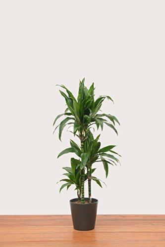 Drachenbaum Farbe