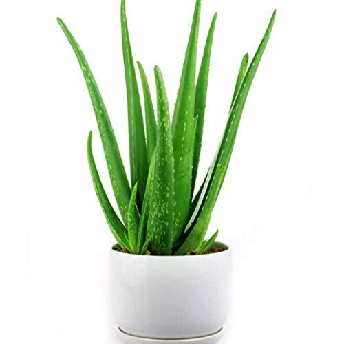 Soteer Garten-100 Stück Aloe Vera(Aloe barbadensis) Samen, Erste-Hilfe-Pflanze Bonsai Saatgut, Zimmerpflanzen saftig für Balkon, Garten, Haus.