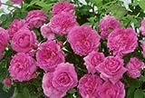 Englische Rose 'The Mayflower' -R- A-Qualität Wurzelware