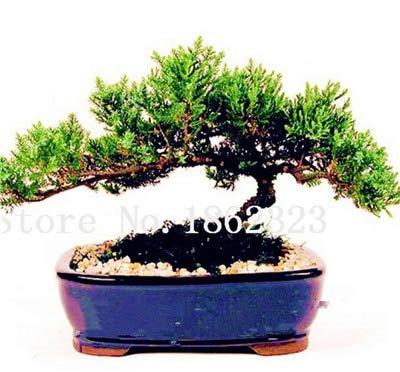 geoponics semi: bonsai 50 pezzi giapponese ginepro bonsai starter albero juniperus nana pianta in vaso per la casa & amp; garden facile da coltivare: 4