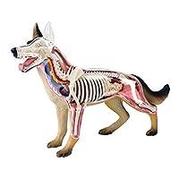 XDXDO Animal Anatomy Assembly Model Biological Model Teaching Aids Medical Dog Skeleton Anatomical Model Detachable Organs Body Parts Puzzle Toy