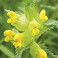 British Wild Flower Seeds Yellow Rattle Rhinanthus Minor 10g (3,000 Seeds) by Pretty wild seeds