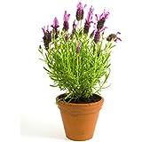 Lavanda Planta Natural Con Flor Pequeña En Maceta - Planta Aromática y Ornamental