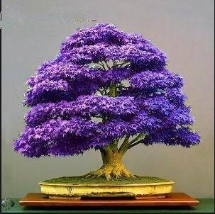 VISTARIC 2ST Wodyetia bifurcata Samen Bonsai-Baum-Samen Foxtail Palm Garden Ornament Baum Topfpflanze DIY