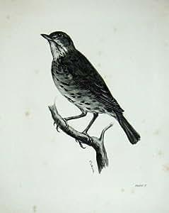 1909 l'Oiseau Adulte Mâle de Musicus de Turdus de Grive de Chanson