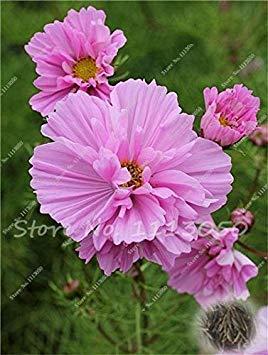 100 PC/Beutel Cosmos Perennial Blumen Bonsai Gepflanzt für Hausgarten Sehr leicht Indoor Bonsai-Topf-Pflanzer wachsen: 17 (Leichte Indoor-pflanzer)