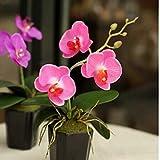 Wekold Phalaenopsis Blume Topfpflanze - 10 Samen Mischfarben Phalaenopsis Bonsai Balkon Blume Orchidee Samen