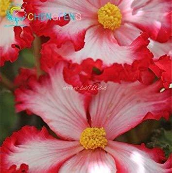 Fash Lady Klar: 100 Begonie Samen Blumensamen 2016 Pflanzen Blumen Bonsai Haus & Garten Topfpflanze Innen Luftreinigung