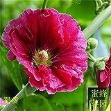 Sophora Japonica Seed dieci piedi semi stagione cotto Rong Kwai recinto circa 100 semi (shu kui) 5