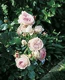 Strauchrose 'Eden Rose '85' -R-