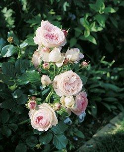 'Eden Rose '85' -R-, Strauchrose im 4 L Container