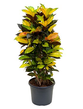 Kroton, Croton codiaeum iceton, ca. 105 cm, große Zimmerpflanze, 29 cm Topf Große Topfpflanzen