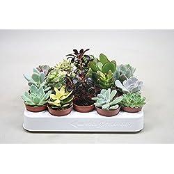 Sukkulenten, Mischung, je im 5,5cm Topf, Starter Set (20 Pflanzen im Set)